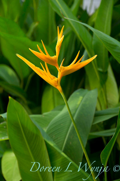 Heliconia angusta_010.jpg