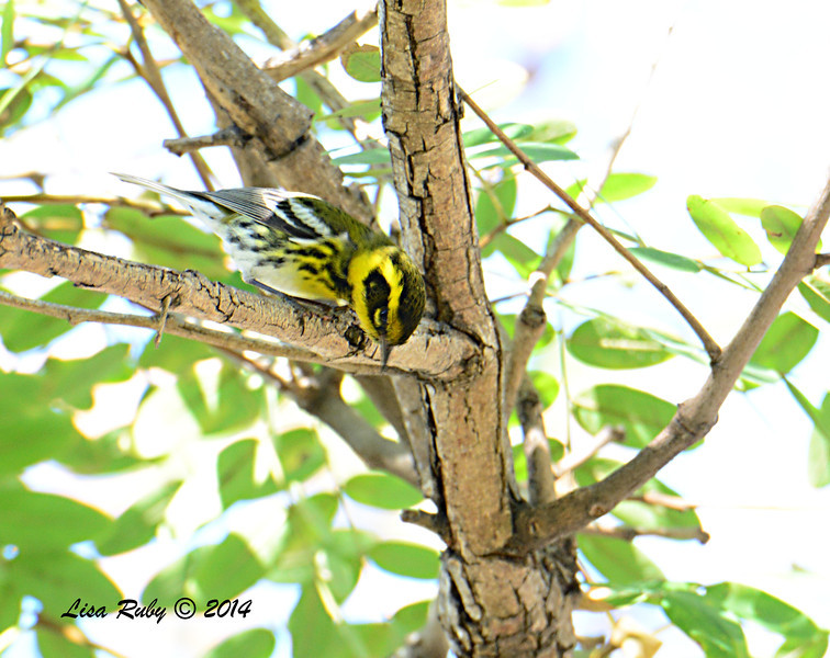 Townsend's Warbler, where'd it go? - 1/3/14 - Park Blvd, Balboa Park