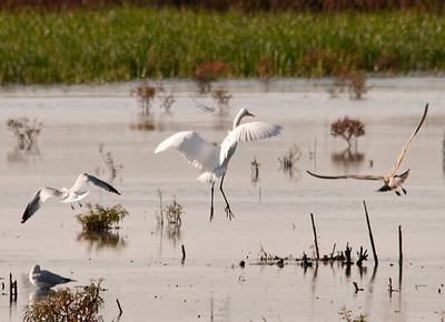 Egret - Great Egret