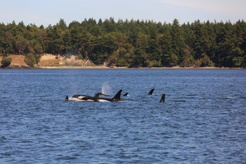 2013_06_04 Orcas Whale Watching 397.jpg