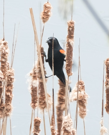 blackbird eating cat tails - 2016