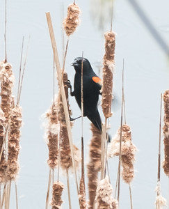 blackbird eating cat tails - 2016