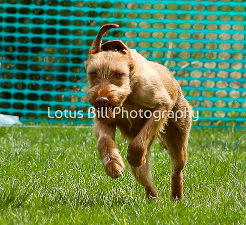 Wirehaired Vizsla DH