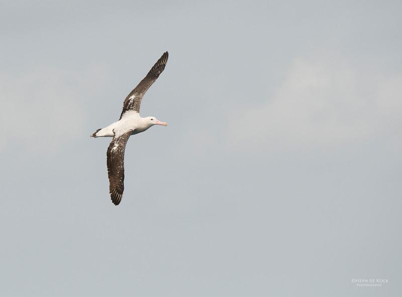 Wandering Albatross, Wollongong Pelagic, NSW, Aus, Oct 2013-1.jpg