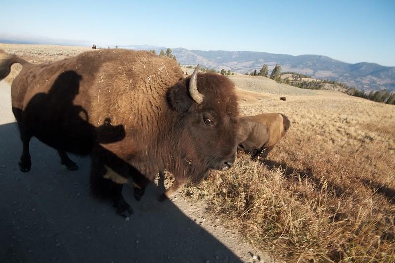 Bison wide angle Yellowstone N.P. WY IMG_0068850.jpg