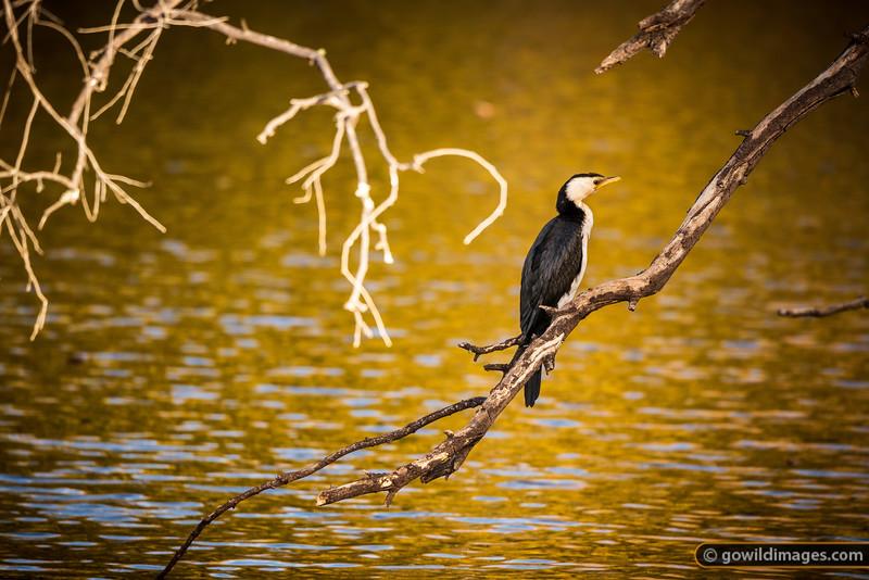 Little Pied Cormorant