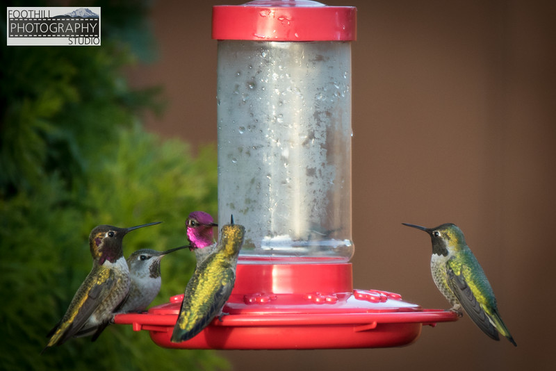 Hummingbirds Sml-100.JPG