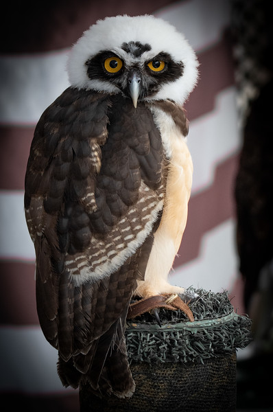 Spectacled Owl juvenile (Jonathan Wood owner)