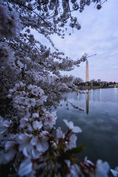 washingtonmonumentcherryblossom.jpg