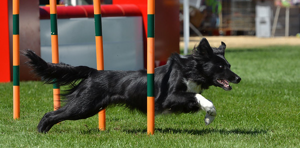 Border Collie Classic 1.08.15 - Luxembourg