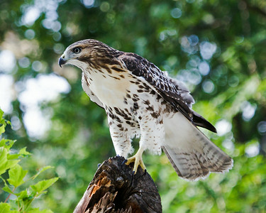 2014 Immature Red Tail