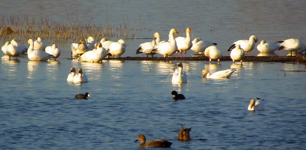 Snow Goose Festival, Jan 2015