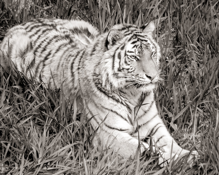 Siberian Tiger in grass