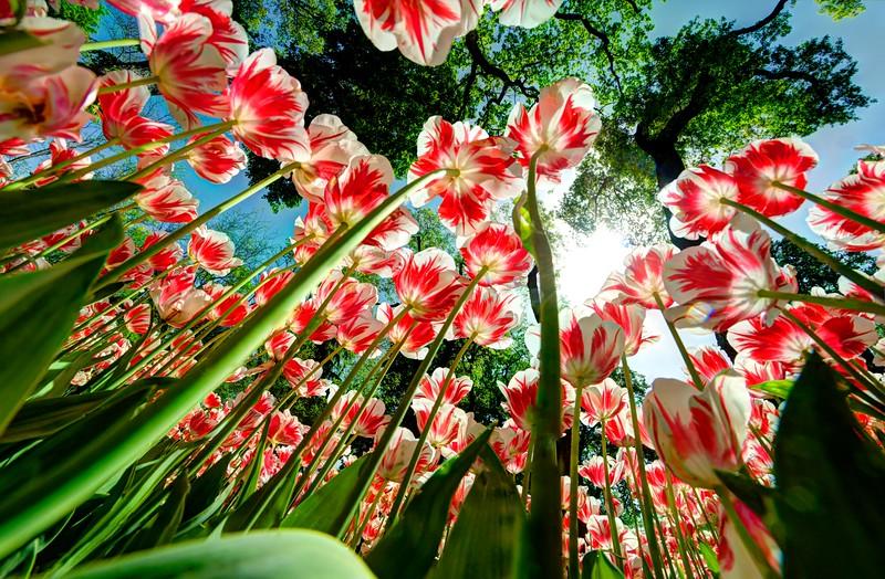 Tulips in Emirgan, Istanbul