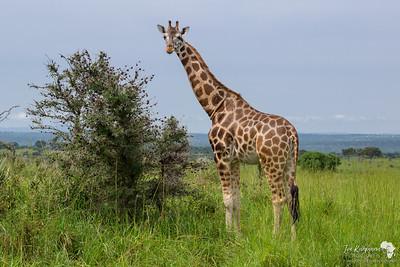 Rothschild giraffe loves Thorny Acacia leaves