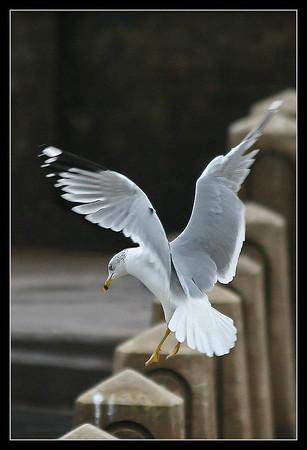 Gulls Mn