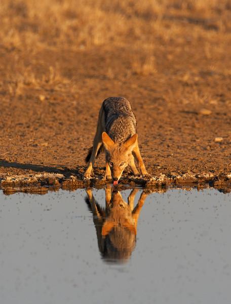 Black Backed Jackal (Canis mesomelas) Drinking at waterhole, Kgalagadi Transfrontier Park in Kalahari Desret, South Africa Jason Gallier - 1410