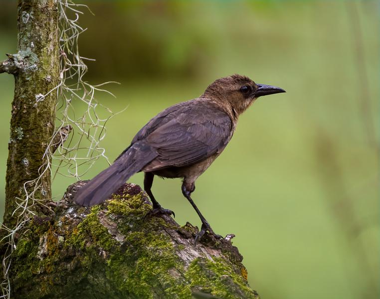 brownheadbird.jpg