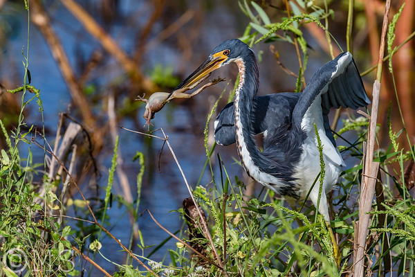 Tri-Colored Heron Image Gallery