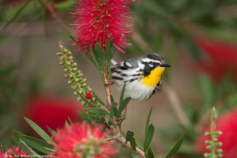 Yellow-throated Warbler in the bottle brush