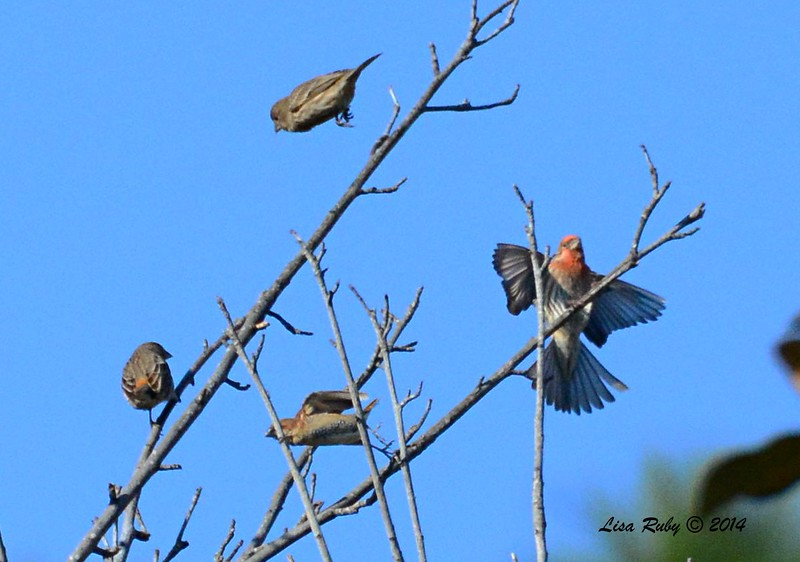 Scaly-breasted Munia (1) and three House Finches - 1/3/2015 - RB CBC, neighborhood