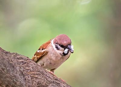 Eurasian Tree Sparrows
