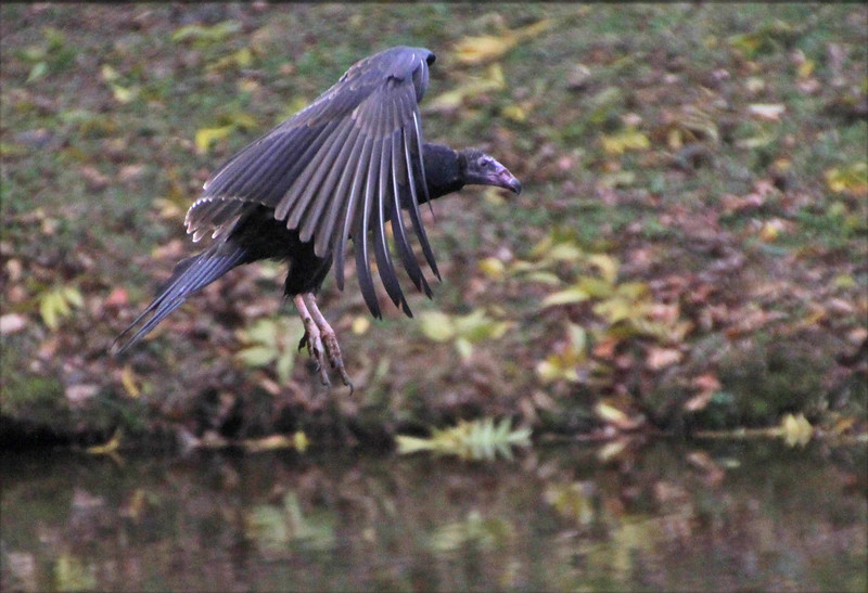 Turkey Vulture landing