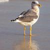 SeagullSandbridgeBeach-008