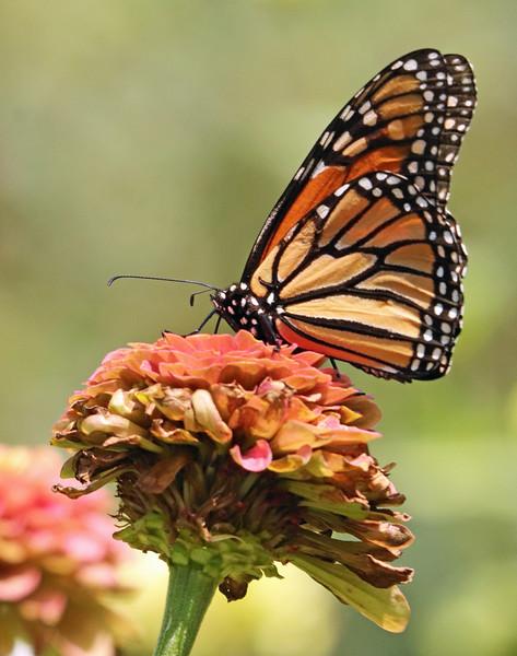 leavitt_monarch.jpg