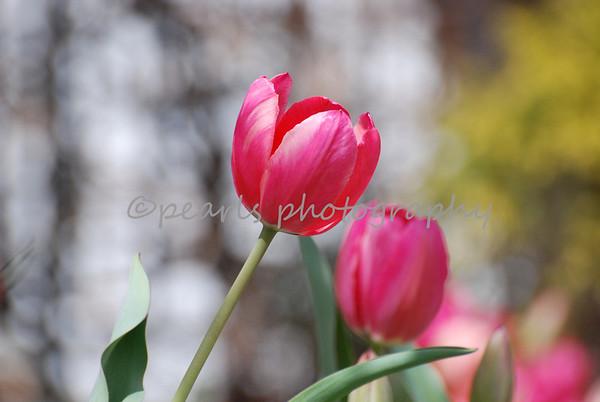 Tulips 09