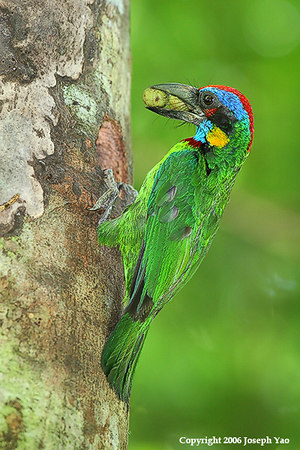Red-Crowned Barbet