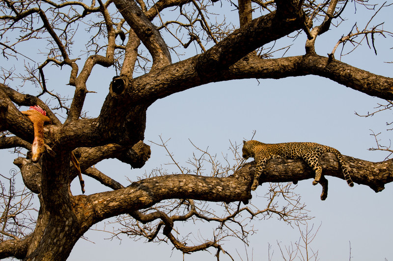 leopard_.jpg