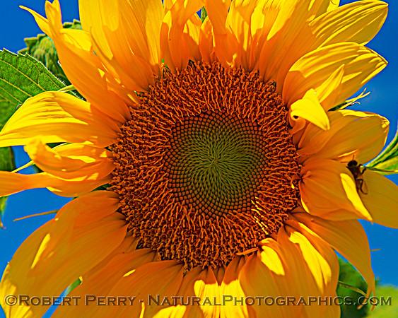 2021 06-11 Davis-sunflowers