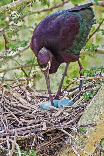 Tending the Eggs - Judith Sparhawk