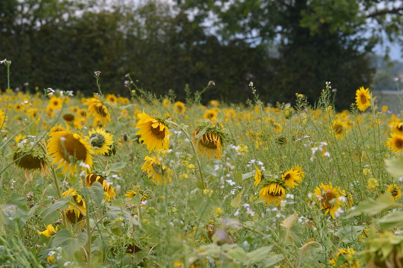 Sunflower Lonay_20092020 (77).JPG