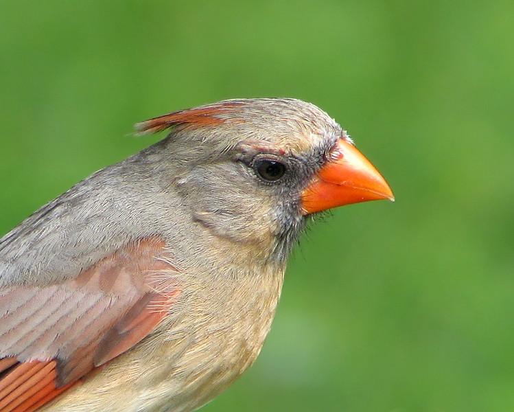 cardinal_3157.jpg