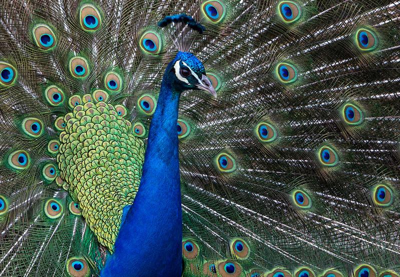 Peacock1small.jpg