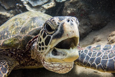 Honu/Green Sea Turtles