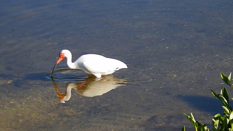 White Ibis feeding at Ding darling