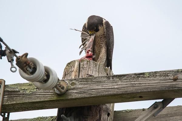 Peregrine falcons - Woburn MA