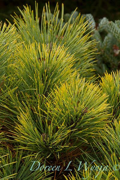 Pinus ponderosa 'Dixie'_7343.jpg