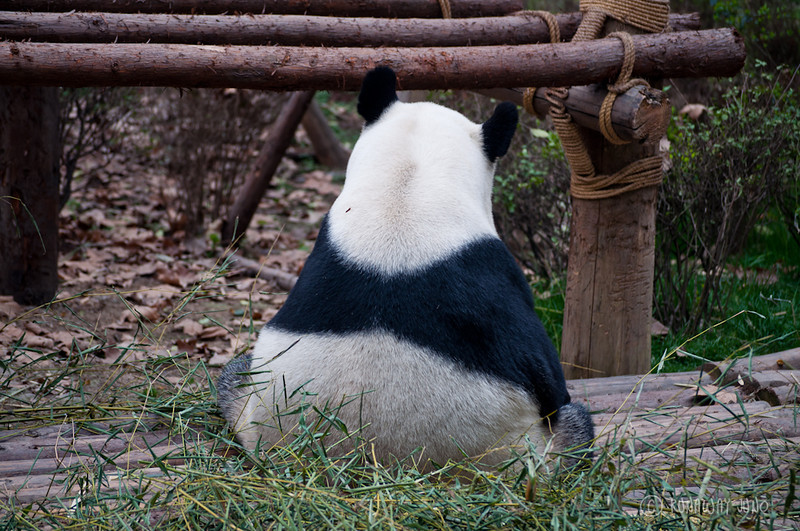 Giant_Panda_cute_back_Chengdu_Sichuan_China.jpg