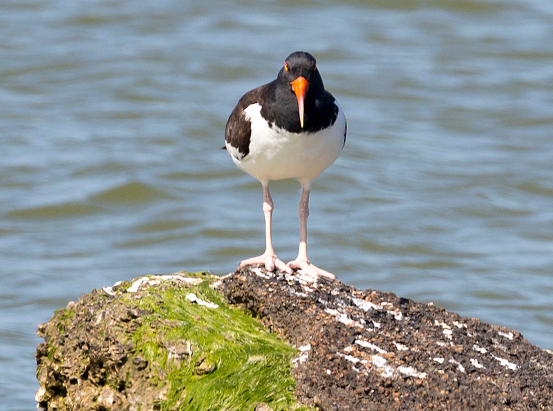 An American Oyster-Catcher eyes us from a rock.