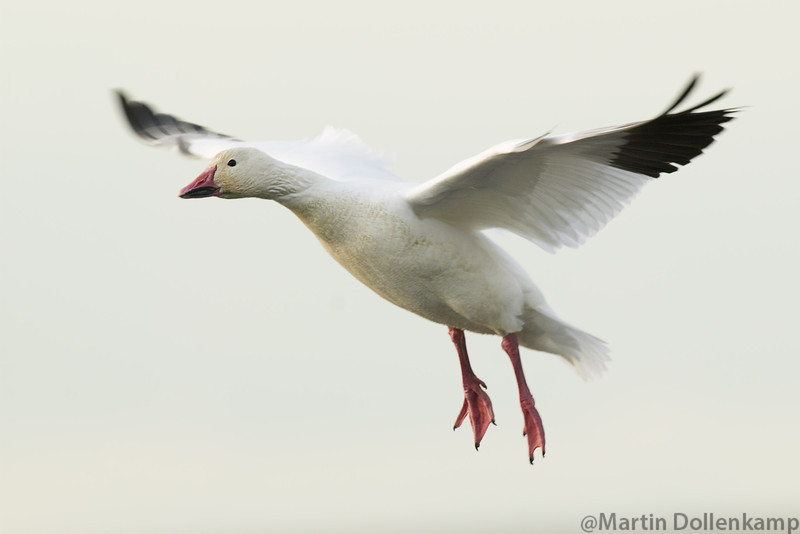 Snow Goose Chen caerulescens