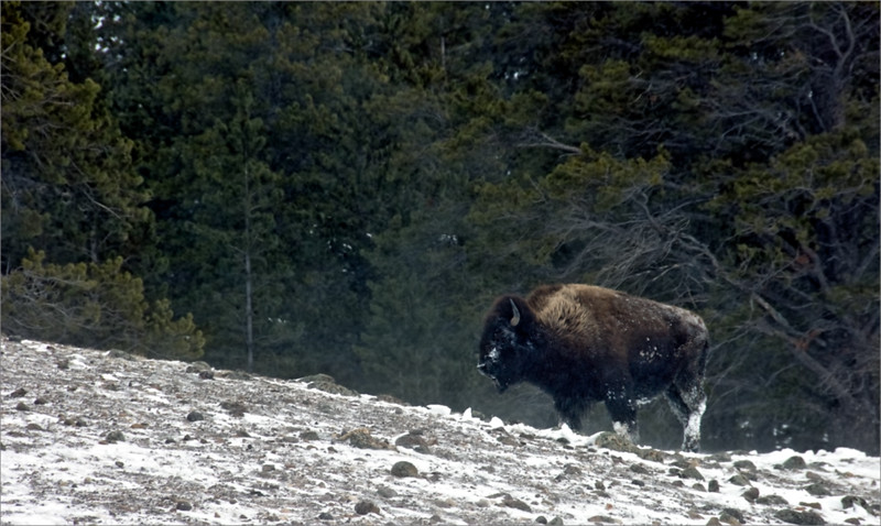 Max-Burke.1.-Bison-Seeking-Food.AS.jpg