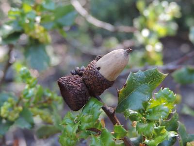 Scrub Oak (Quercus berberidifolia)