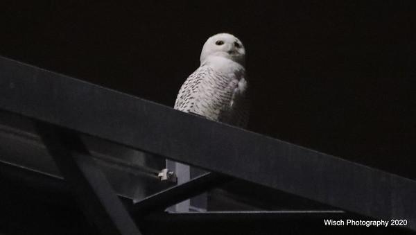 Snowy Owl - Dec 2020