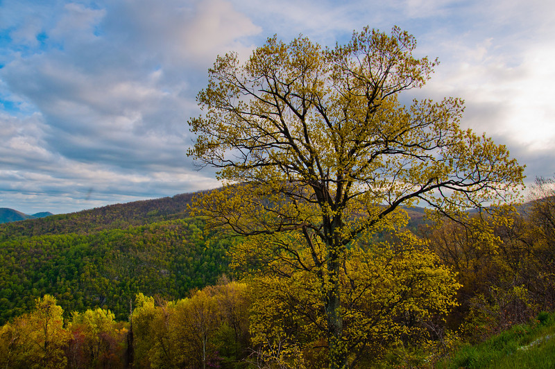 View of the Appalachians and Tree from Skyline Drive, Shenandoah National  Park, Virginia.