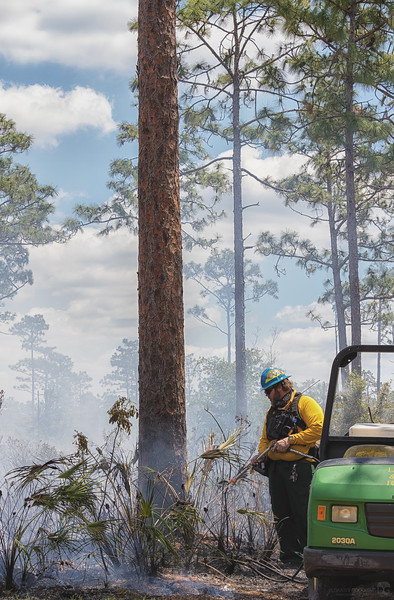 Watering the case of a long leaf pine to prevent damage from the flange and embers