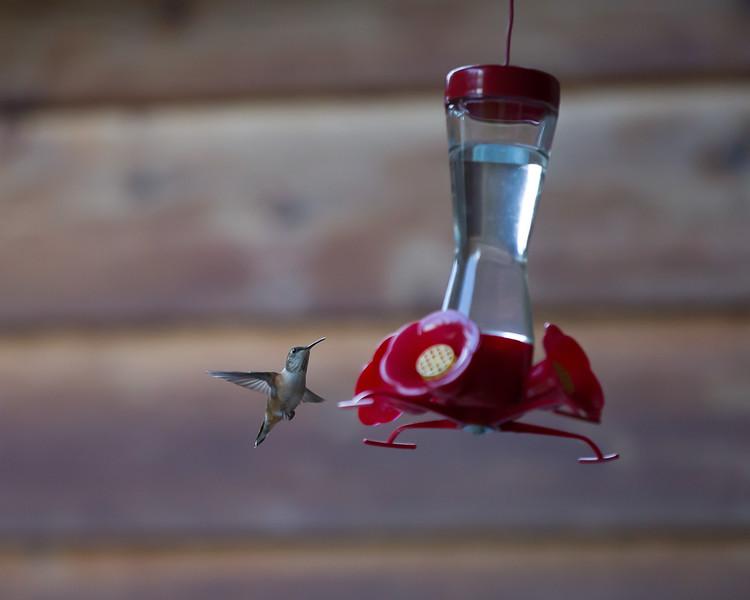 humming bird (47 of 55).jpg
